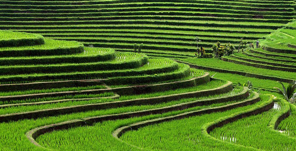Die berüchtigten Reisfelder der Region