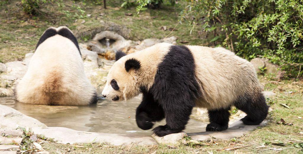 No deje pasar la oportunidad de visitar los pandas gigantes durante su visita al zoológico de la ciudad