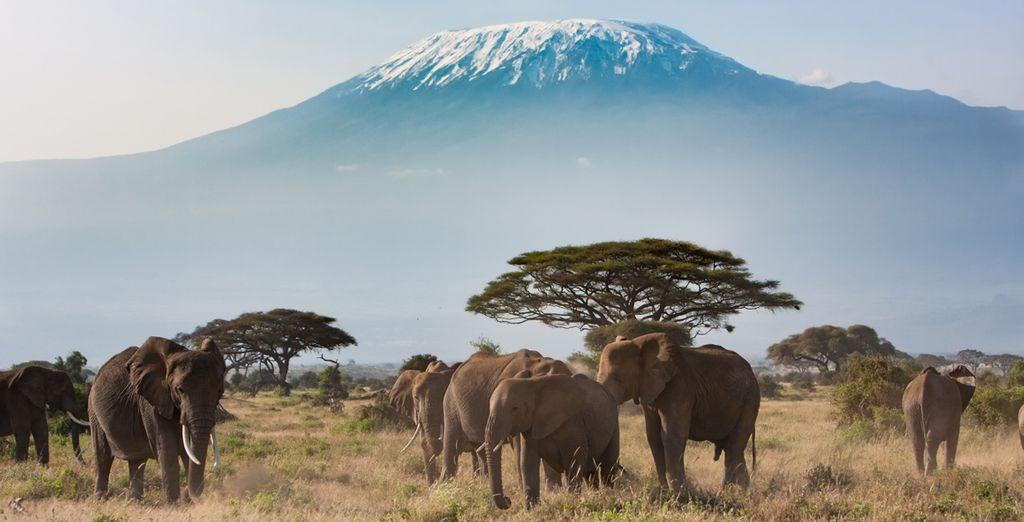 El parque nacional de Amboseli ofrece una de las imágenes más clásicas de Kenya, la enorme montaña del Kilimanjaro