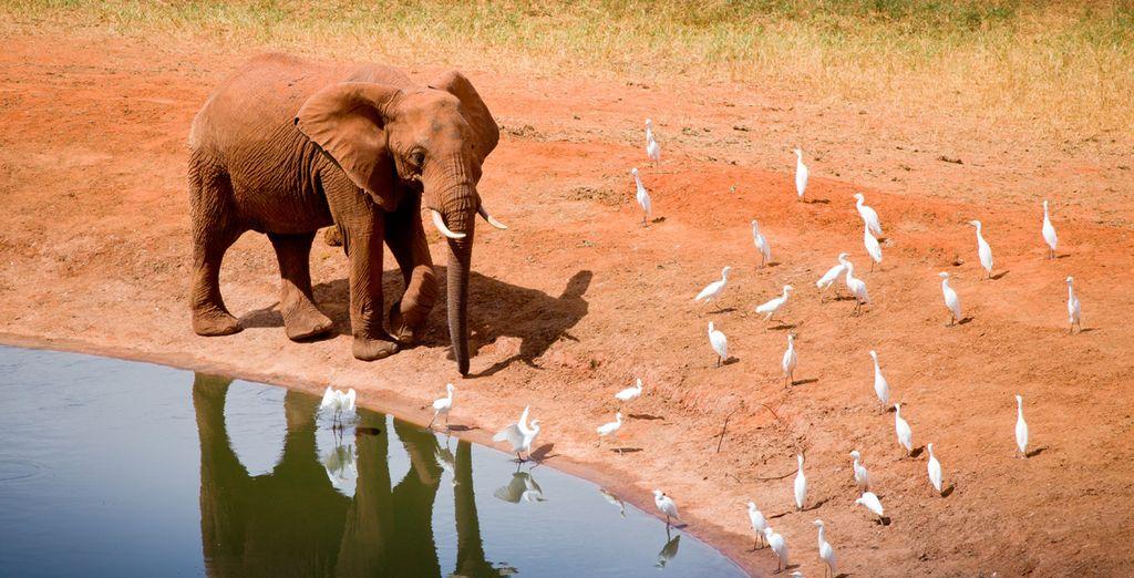 El color rojo típico su tierra volcánica hace que los elefantes adopten un color rojizo que los hace ser únicos