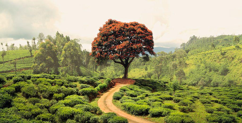 Árbol rojo en la plantación de té cerca de Nuwara Elyia