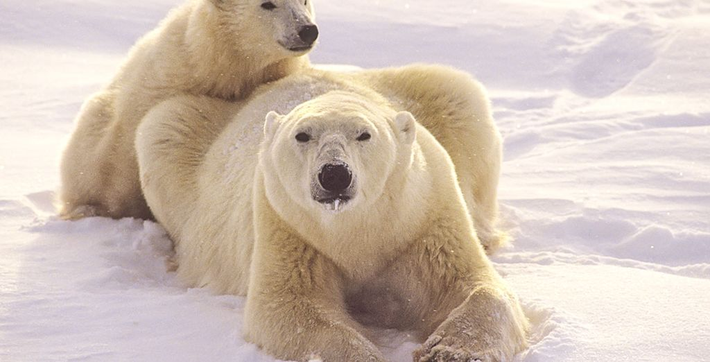 Observez les ours polaires en Norvège avec les voyages tout inclus Voyage Privé