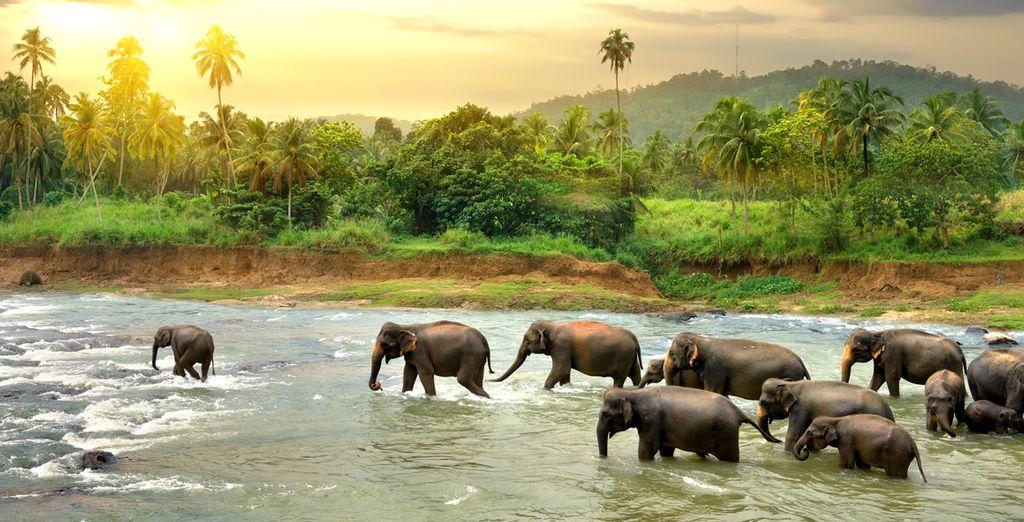Ou pour vous émerveiller au parc aux éléphants Pinnawala