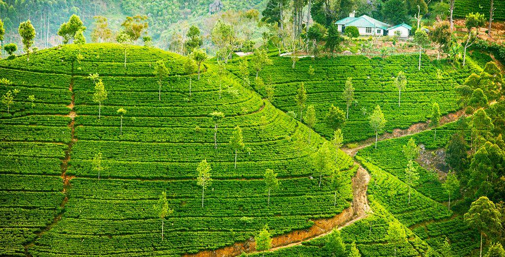 Visitez les plantations de thé...