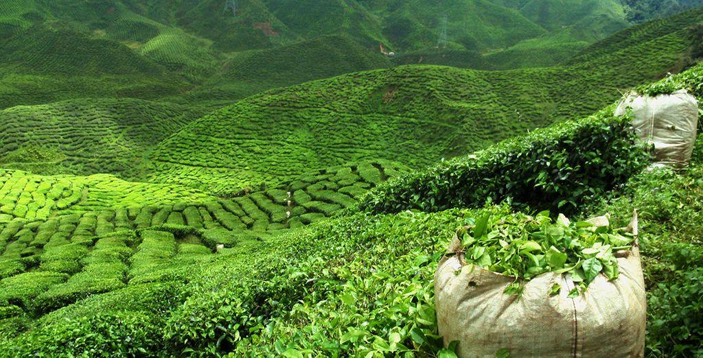Entre plantations de thé...