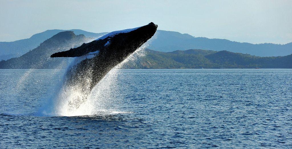 Le fascinant spectacle des baleines...