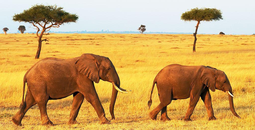 Photographie de la faune majestueuse du Kenya : éléphants en liberté dans le parc national d'Amboseli