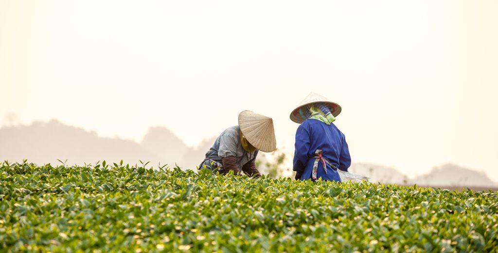 Et ses jolies collines de thé