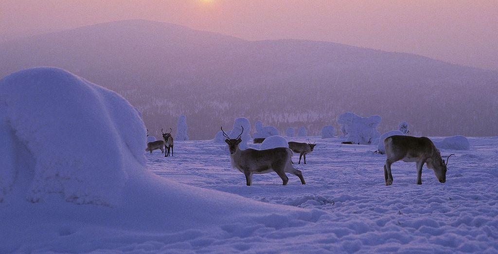 Envolez-vous vers la Laponie...