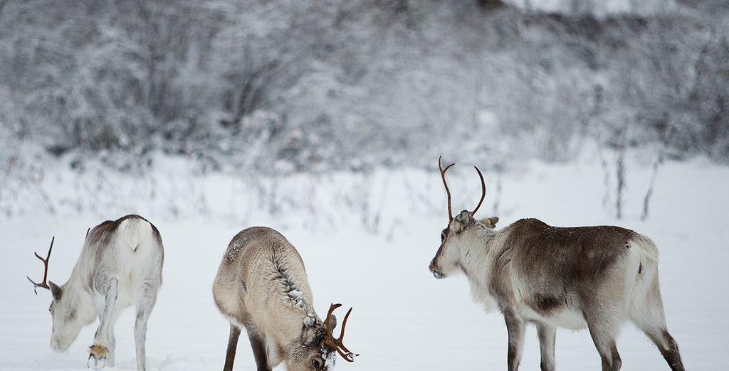 Paysages enneigés et faune de Finlande
