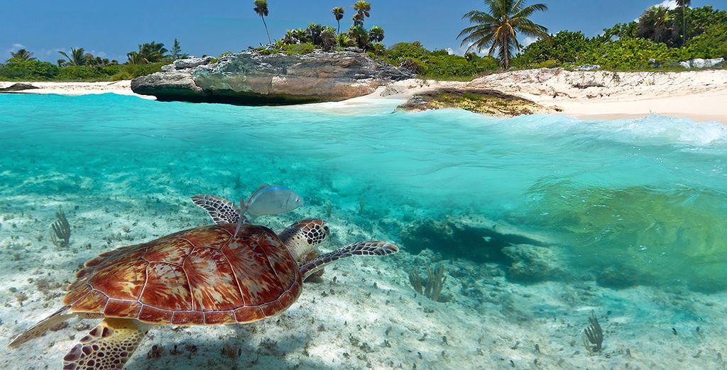 C'est à l'île de Curieuse que vous pourrez admirer les tortues