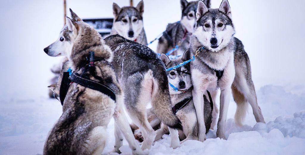 grazie agli splendidi cani Husky