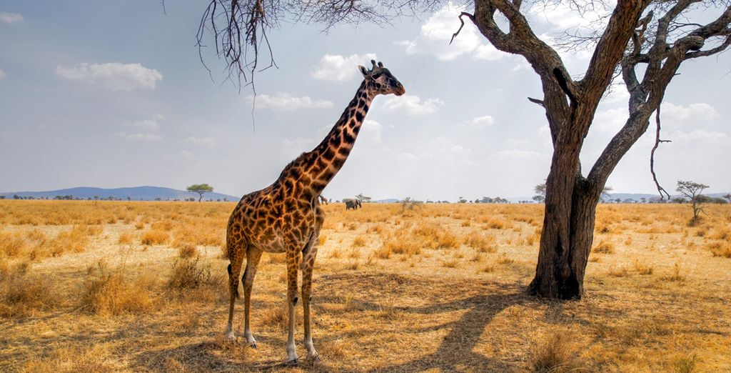 Osserverete la vita dei big 5, tra i quali c'è la maestosa giraffa