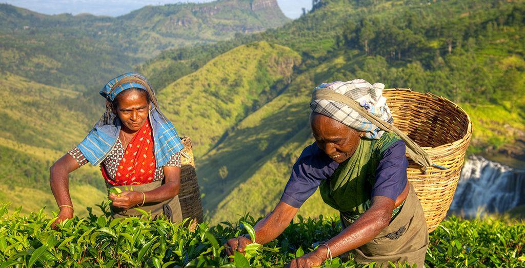 Sri Lanka, het land van de Ceylon thee, is de perfecte bestemming voor u!
