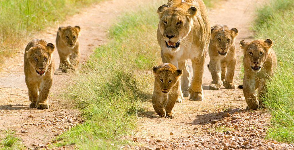 Embark on a mini safari aad come face to face with some of nature's proudest creatures - Mini Tanzania Safari & Zanzibar Blue Bay Resort Tanzania & Zanzibar