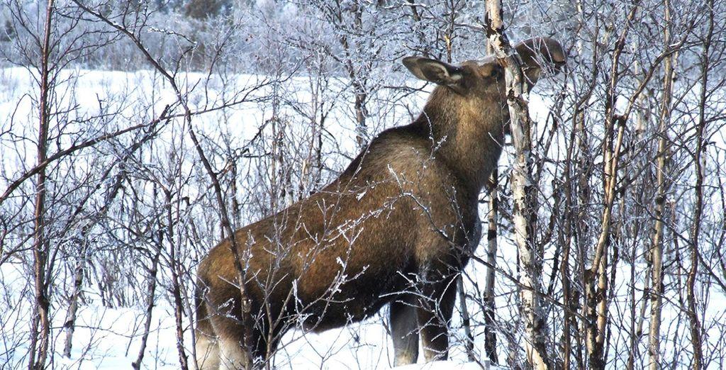 A moose safari on horseback