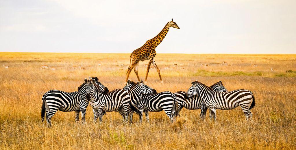 Safari in 4-5 Nächten in Tansania + Verlängerung im Jafferji Beach Retreat 4* auf Sansibar
